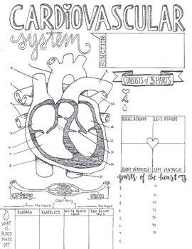 Cardiovascular System Sketch Notes Nursing School Notes Sketch