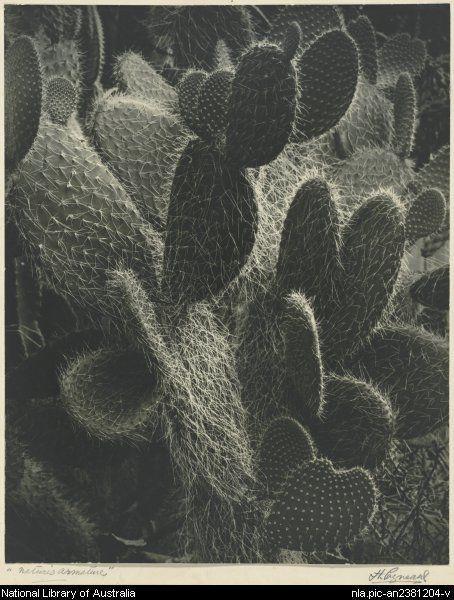Cazneaux, Harold, 1878-1953. Nature's armature [picture]