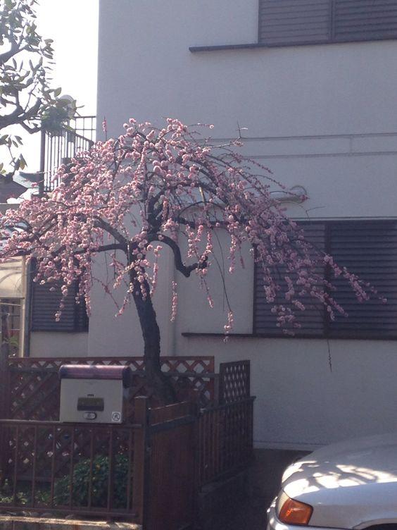 Beautiful Sakura Denenchofu japan