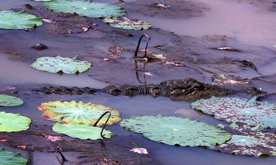 A mugger or marsh crocodile (Crocodylus palustris) lies in wait for prey in the Wilpattu national park. Photograph: M.A. Pushpa Kumara/EPA