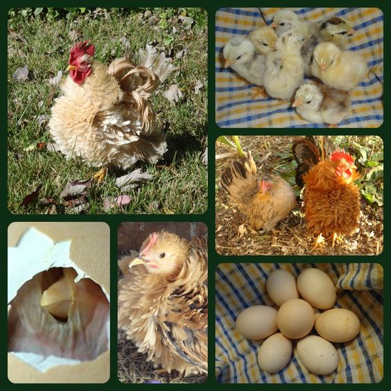 Serama hatching eggs for sale! #serama #chickens #poultry ...