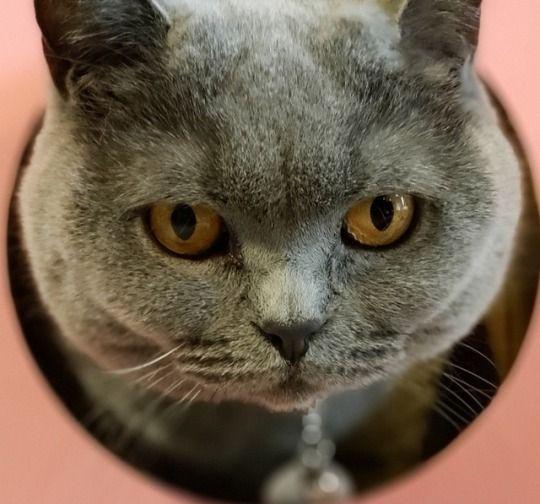 British Shorthair Cat Tumblr British Shorthair Cats British