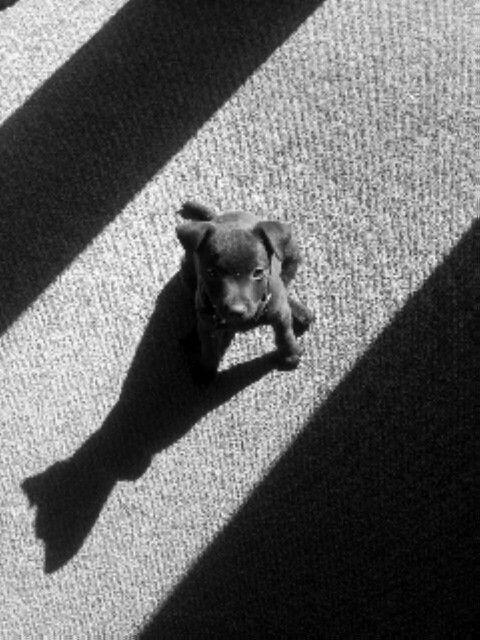 Gus-Patterdale Pup