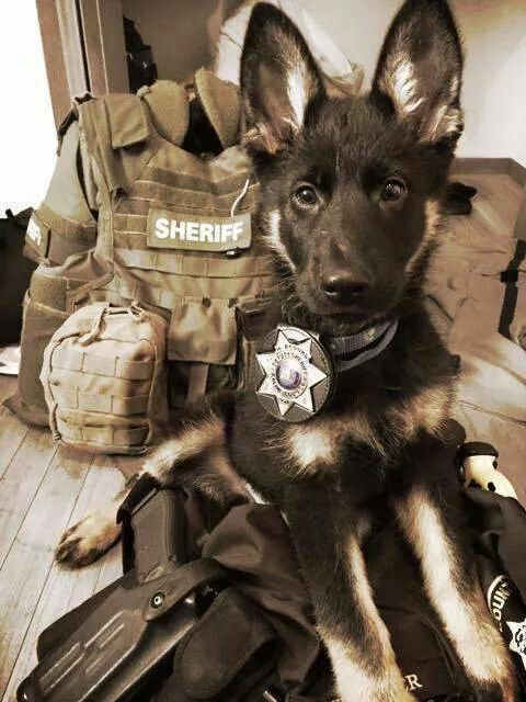 #K9 Puppy wearing a #badge