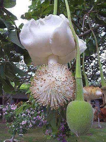 Fleur de Baobab, la rareté -  Interprétation/Signification de rêves - tableau ©Thomas Parkenham