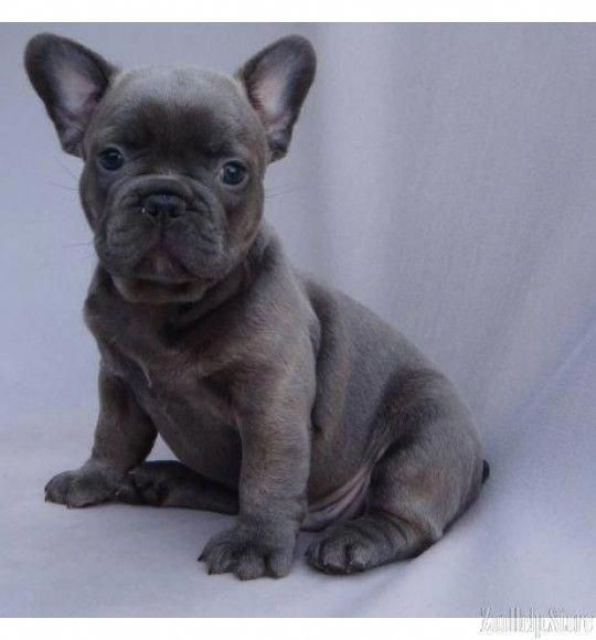 French Bulldogs Fivefabulousfrenchies Instagram Posts Videos