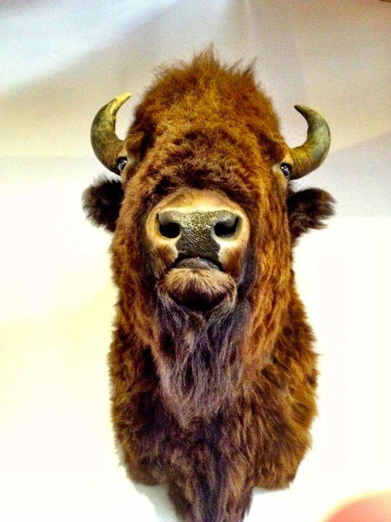 Beefalo.    photo by Erin Brucia
