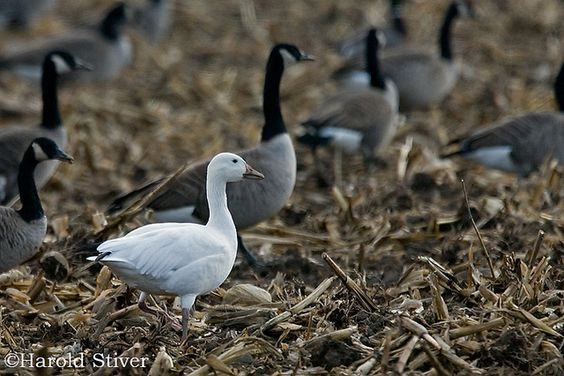 Ross's Goose, Chen rossii 4 | Flickr - Photo Sharing!