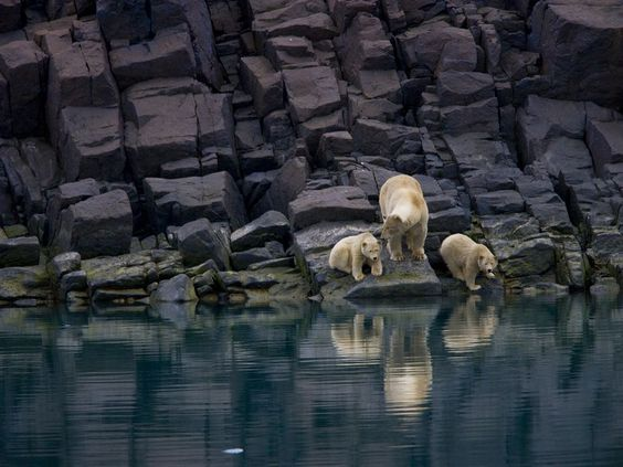 ❥ Polar Bear and Cubs, Svalbard, Norway~ I have loved this image for years. Wallpaper now! Yes!