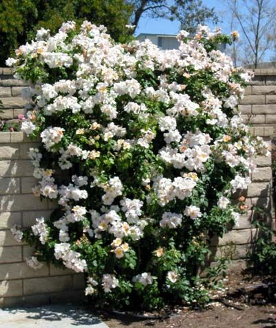 Climbing Rose (Rosa species and cultavars)  Judith Phillips recommends 'Blaze Improved'