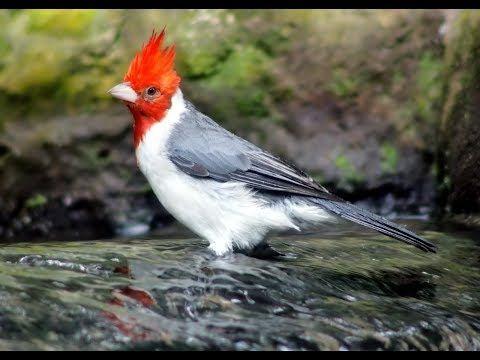 Canto Cardenal Copete Rojo 3 Horas El Mejor Excelente Paroaria Coronata Youtube Pájaros Cardenales Cardenal Musica Naturaleza