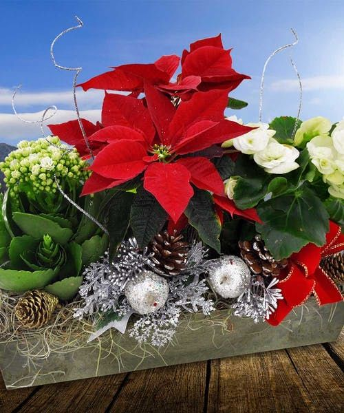 Poinsettia Plant Garden Poinsettia Plant Holiday Flower Same Day Flower Delivery