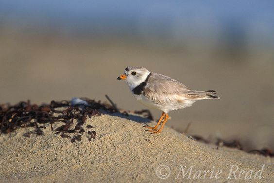 Piping Plover (Charadrius melodus), male, breeding plumage, Martha's Vineyard, Massachusetts, USA. Endangered species in USA.  S...