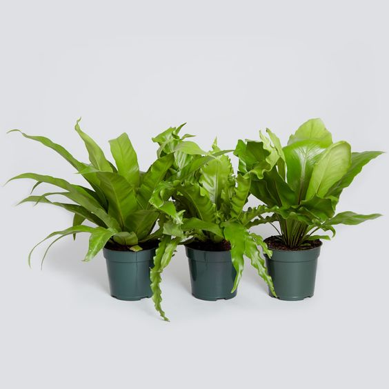 Bird 39 s nest ferns are non toxic and filter pollutants for Low light non toxic house plants