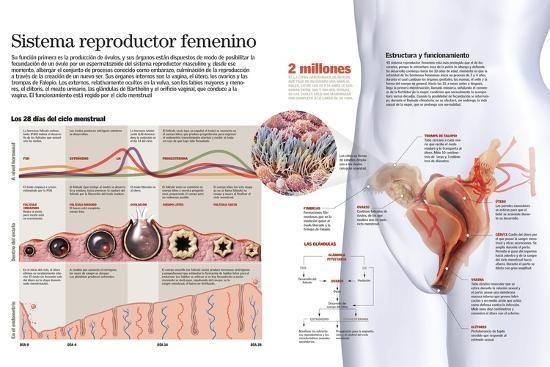 Infografía Del Sistema Reproductor Femenino Y Del Ciclo Menstrual Posters Allposters Com En 2021 Sistema Reproductor Femenino Sistema Reproductor Aparato Genital Femenino