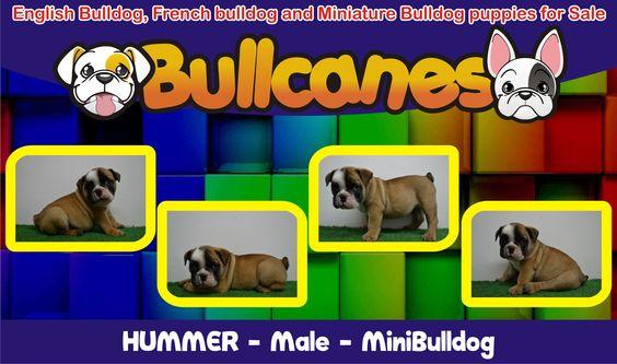 BULLCANES Bulldog Breeders English Bulldog and French Bulldog puppies for Sale Bulldog Ingles y Bulldog Frances a la venta - La tienda del Bulldog http://www.bullcanes.net  https://www.facebook.com/bullcanes bullcanes1@hotmail.com