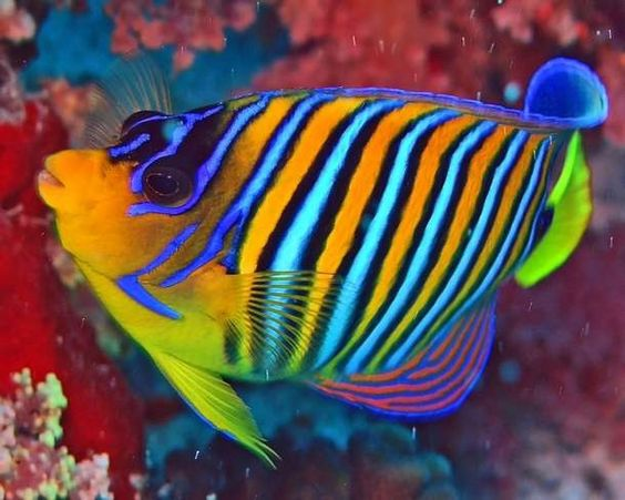 Colorful saltwater fish the colors of creation birds for Colorful freshwater fish