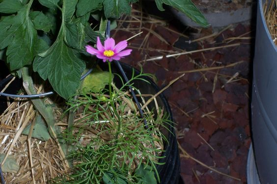 I planted cosmos in my tomtoes to keep the bad critters away.