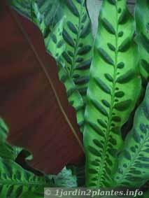 68 liste de plantes grimpantes fleurs feuillage - Plante de balcon ombre ...