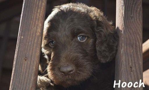 Litter Of 4 Labradoodle Puppies For Sale In Jasper Ga Adn 67086