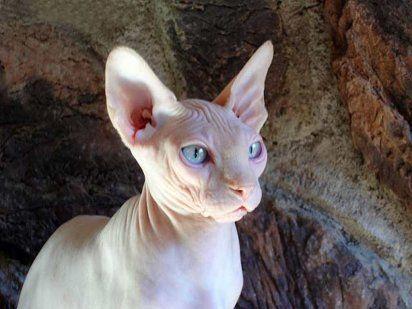 Sphynx, un gato de lo más original