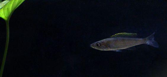 Cyprichromis Utinta: Young