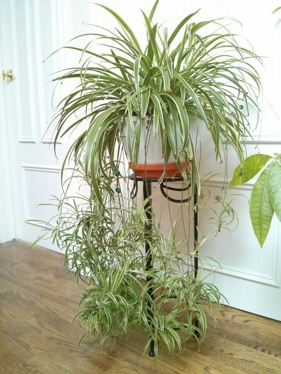 February 26, 2015 - the growing season has begun for my spider plant! Some signs I've noticed: considerably denser foliage than last month; increased water usage (soil feels dry but I recall watering...