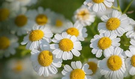 Feverfew Bing Feverfew Plants Feverfew For Migraines