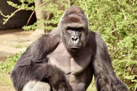 University of Massachusetts: Jokes About Dead Gorilla are RACIST