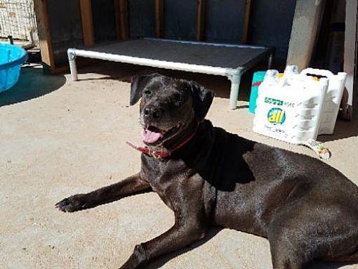 San Antonio Tx Labrador Retriever Meet L Bonnie A Pet For Adoption Labrador Retriever Pet Adoption Labrador