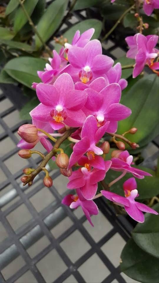 Phal Malibu Queen X Equestris Phalaenopsis Orchid Orchids Phalaenopsis Orchid Plants