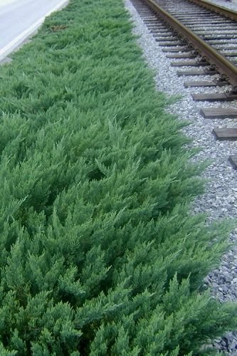 The Parsons Juniper Is Exceptionally Easy To Grow In Most Any Average Well Drained Soil And Full Sun However Ground Cover Plants Sloped Garden Juniper Plant