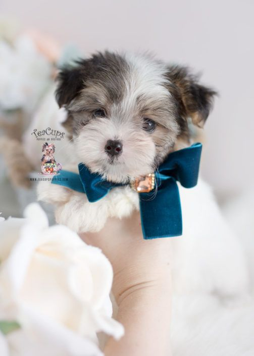 Biewer Terrier Puppy For Sale Teacup Puppies 376 A Teacup Puppies Poodle Puppy Lap Dogs