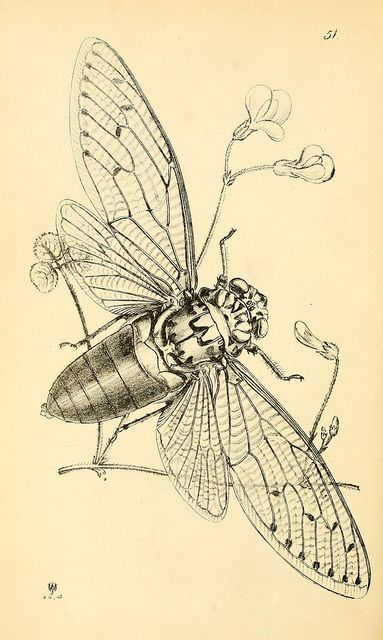 cicada by biodivlibrary paper pages pinterest get a tattoo flower and inspiration. Black Bedroom Furniture Sets. Home Design Ideas