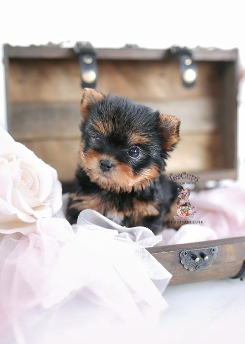 Yorkie Puppy For Sale Teacup Puppies 151 B Teacup Puppies For