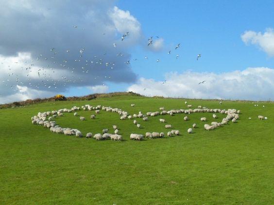 Love heart sheep!