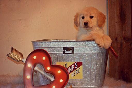 Golden Retriever Puppy For Sale In West Brookfield Ma Adn 63740