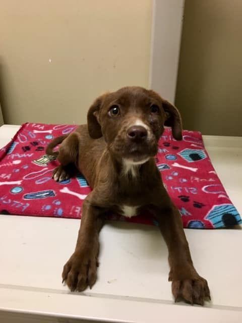 Adopt Lauren On Labrador Retriever Dog Adoption Rescue Dogs
