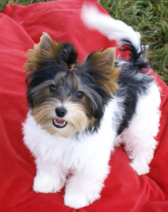 Biewer Yorkie Puppy. Paula- there's a whole board full of Biewers. I have two. See on line at: http://www.grigiosgrooming.com