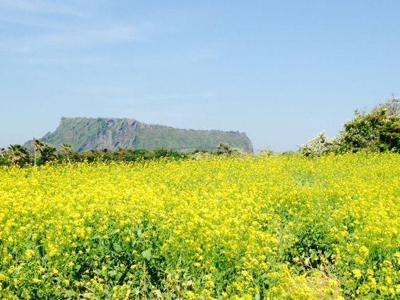 Rapeseed fields in Jeju Island