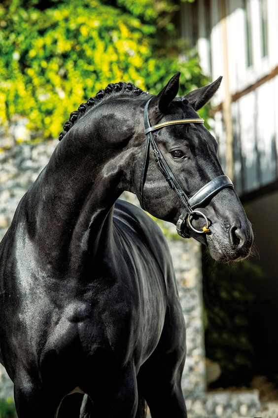 Tannenhof's Don Corazo - Hanoverian Stallion:
