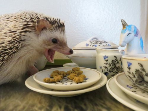 Hedgehogs-- they are such dainty eaters...: