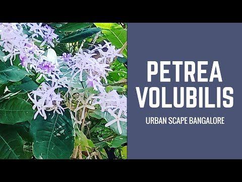How To Take Care Of Petrea Volubilis Sandpaper Vine Kudurai Valuppu In Tamil And It S Repotting Youtube Volubilis Vines Sandpaper
