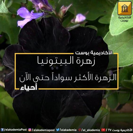 استطاع العلماء إنتاج أول نبتة سوداء بالكامل والتي تسمى بالبيتونيا ولكن لا تتحمس كثيرا وذلك لأنها ليست سوداء حقا كما سيظهر في السطور الق Petunias Plants Nature