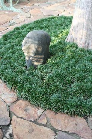 "Ophiopogon japonicus 'Nana' (dwarf Mondo grass) - ps/shade, dark green 1/8"" leaf blades, foot tolerant. spreads slowly!, 2-3"" highx 5-8"". SPACING 2-4"" apart."