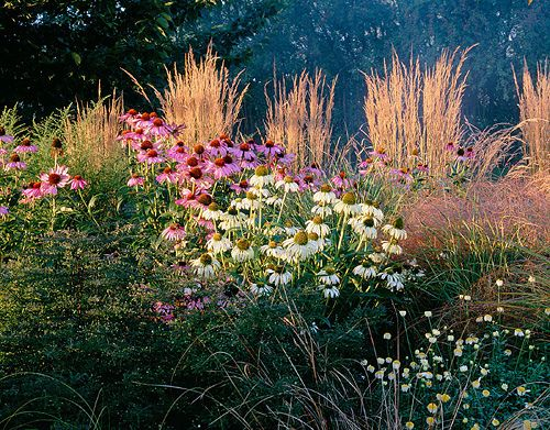 autumn border with calamagrostis 39 karl foerster 39 echinacea purpurea and echinacea purpurea. Black Bedroom Furniture Sets. Home Design Ideas