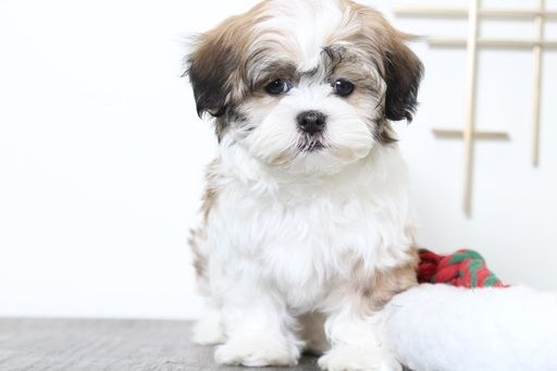 Havashu Puppy For Sale In Bel Air Md Adn 56758 On Puppyfinder