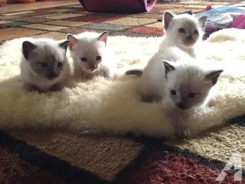 Seal Point And Lynx Point Siamese Kittens Bengal Cat Siamese Kittens Bengal Cat For Sale