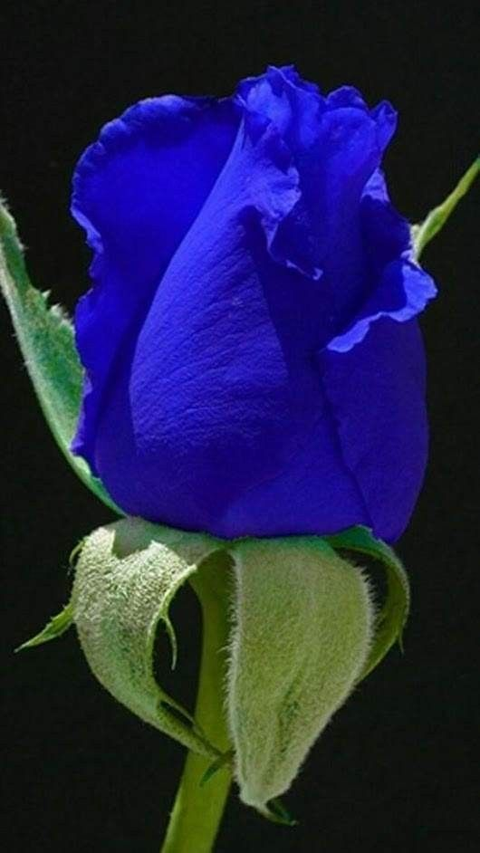 Beautiful Blue Rose Rosas Purpuras Rosas Rosas Bonitas