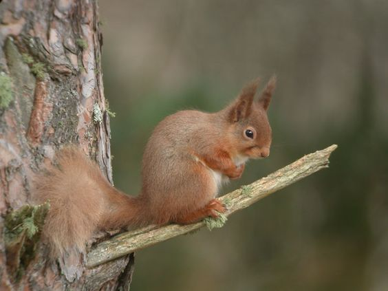 Red Squirrel on Speyside